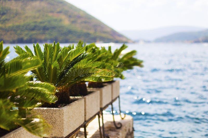 Palmträd i krukor royaltyfri foto
