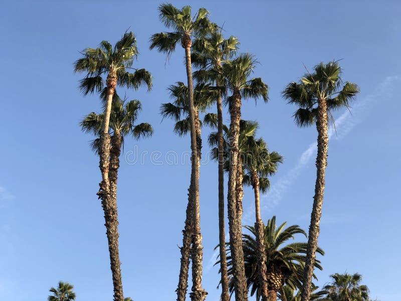 Palmträd i Los Angeles arkivfoton
