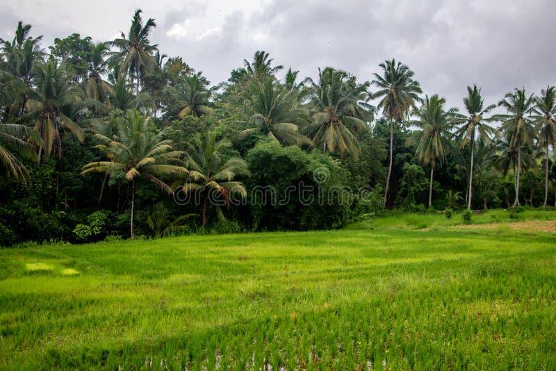 Palmträd i risterrassfält, Ubud, Bali, Indonesien royaltyfri bild