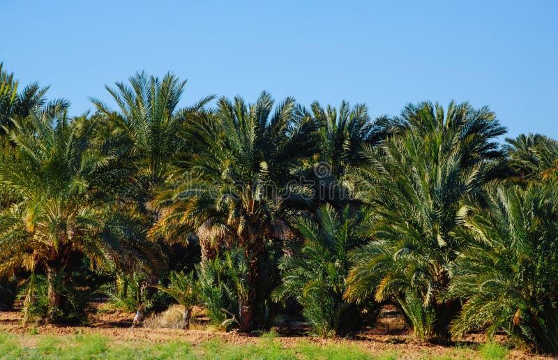 Palmträd i tropisk trädgård i Arizona royaltyfri foto