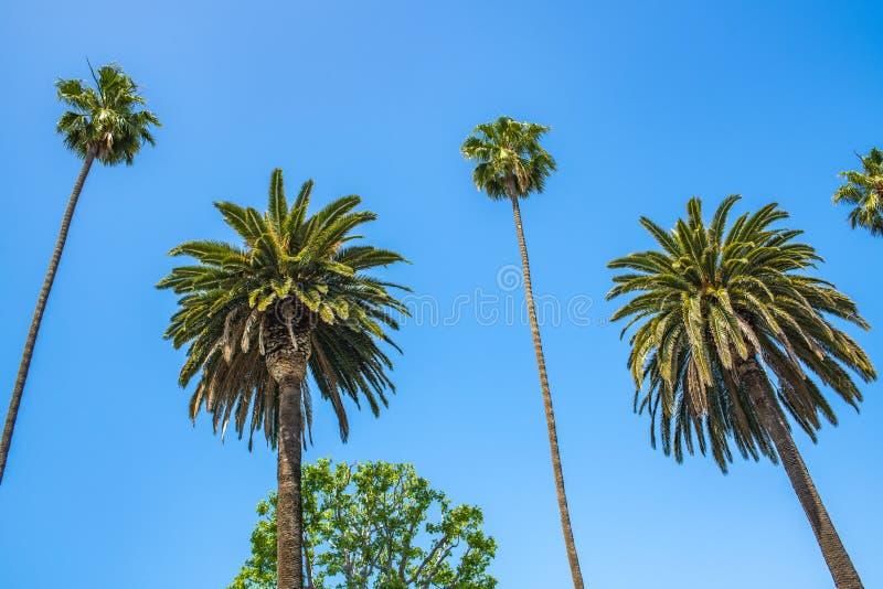 Palmträd med blå himmel i Beverly Hills arkivfoto