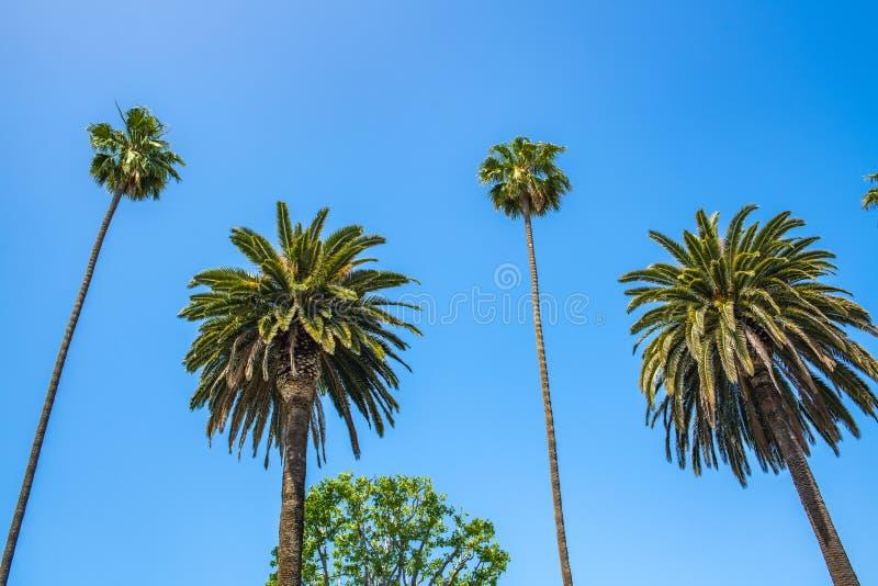 Palmträd med blå himmel i Beverly Hills royaltyfri fotografi
