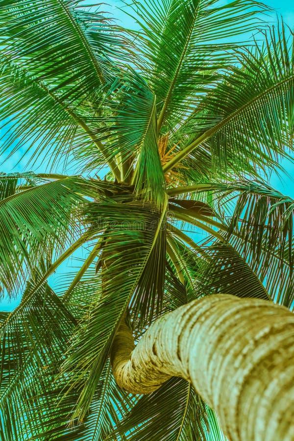 Palmträd med en krökt stam fotografering för bildbyråer