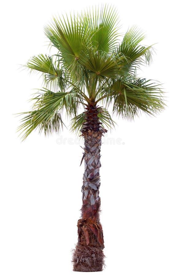 Palmträd med en stor krona royaltyfri fotografi