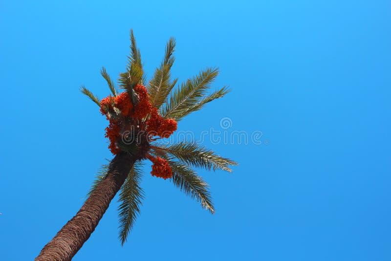 Palmträd med orange bär och att lugna blå himmel fotografering för bildbyråer