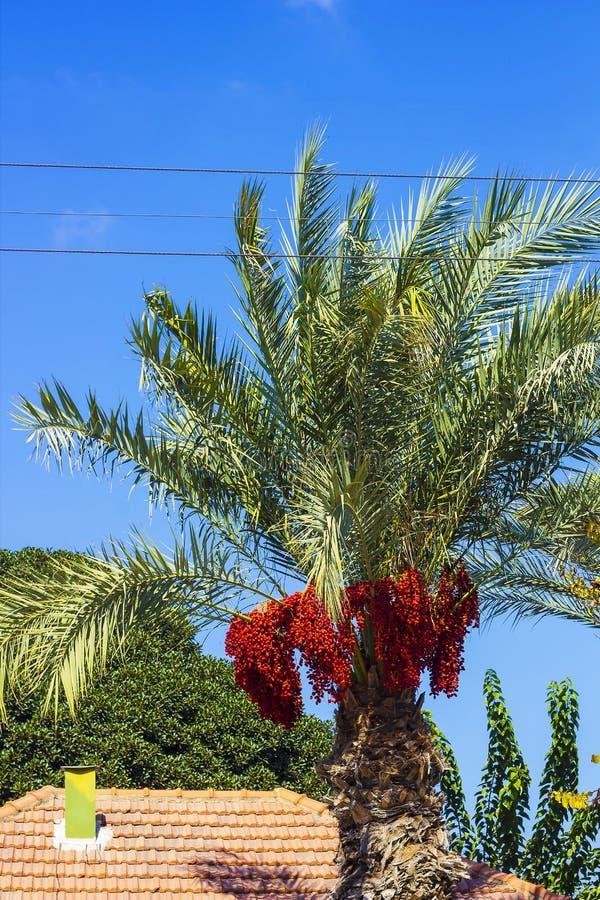 Palmträd med röda data fotografering för bildbyråer