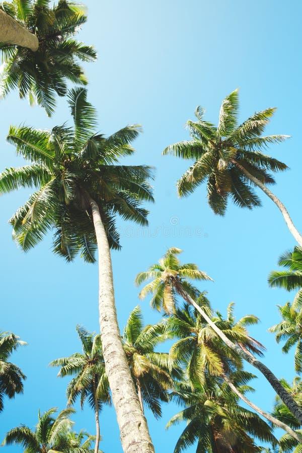 Palmträd mot blå himmel, palmträd på den tropiska kusten, tappning tonade och stiliserade, kokospalmen, sommarträdet som var retr arkivfoton