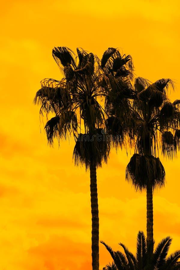 Palmträd mot den guld- solnedgånghimlen arkivfoton