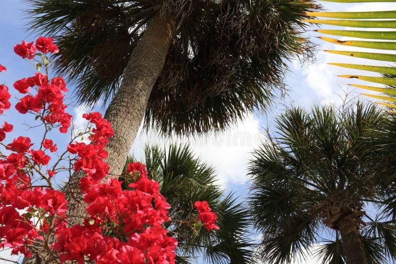 Palmträd och blå himmel med rosa bougainvilleablomningar arkivbilder