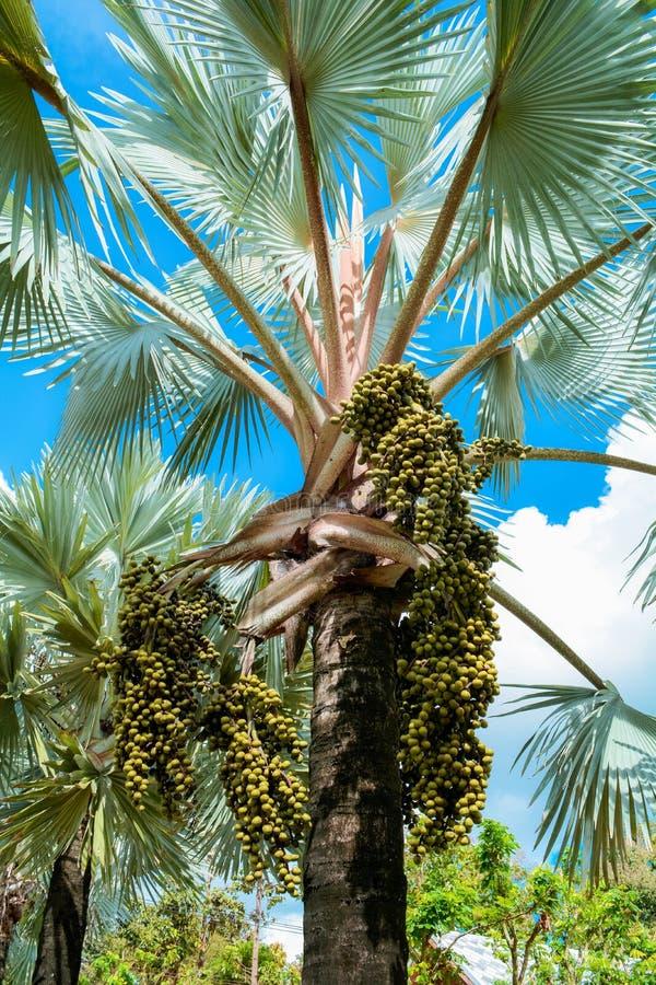 Palmträd och frukt gömma i handflatan fotografering för bildbyråer