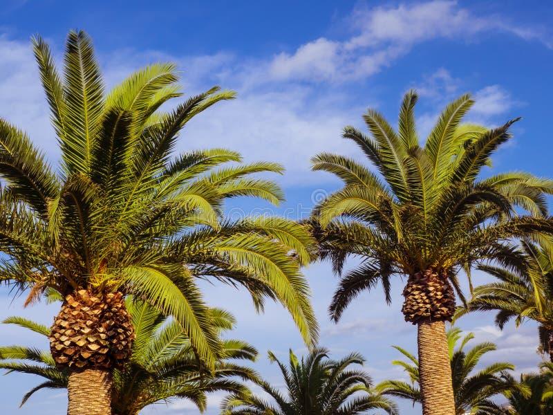 Palmträd och kalla blåa himlar royaltyfri foto