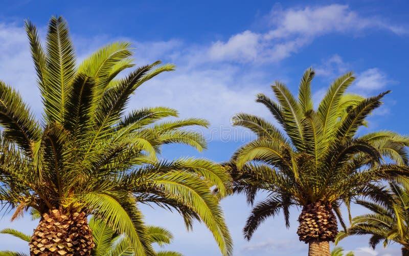 Palmträd och kalla blåa himlar - closeupskott royaltyfri foto