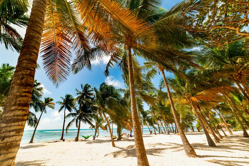 Palmträd och vit sand i den Bois Jolan stranden royaltyfri bild