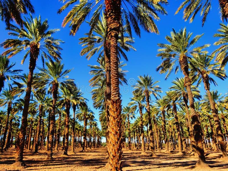Palmträd på en datumlantgård fotografering för bildbyråer