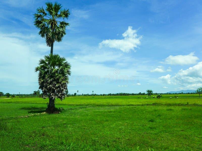Palmträd på fältet för grönt gräs på blå himmel med molnbackgr arkivfoton