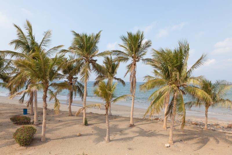 Palmträd på stranden i Oman arkivbilder