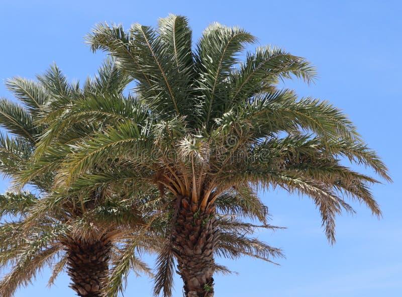 Palmträd som blåser i vinden på den Clearwater stranden Florida arkivbilder