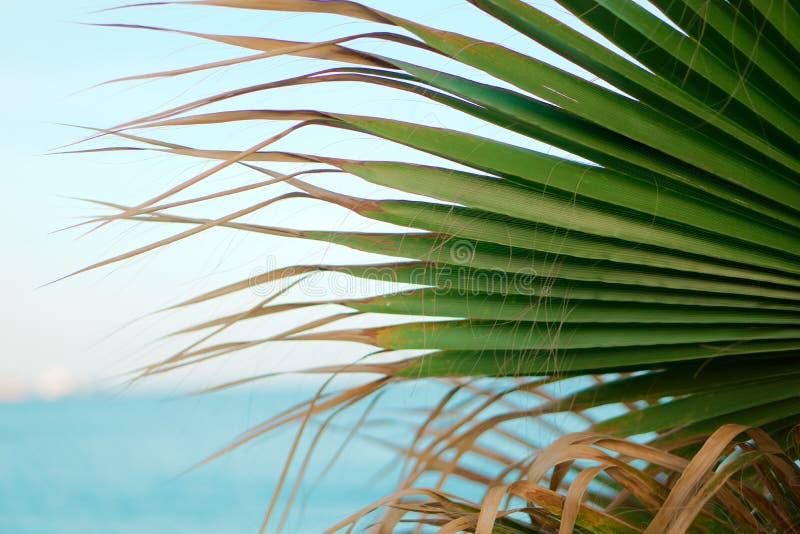 Palmträd som finnas i kusten av Limassol royaltyfria foton