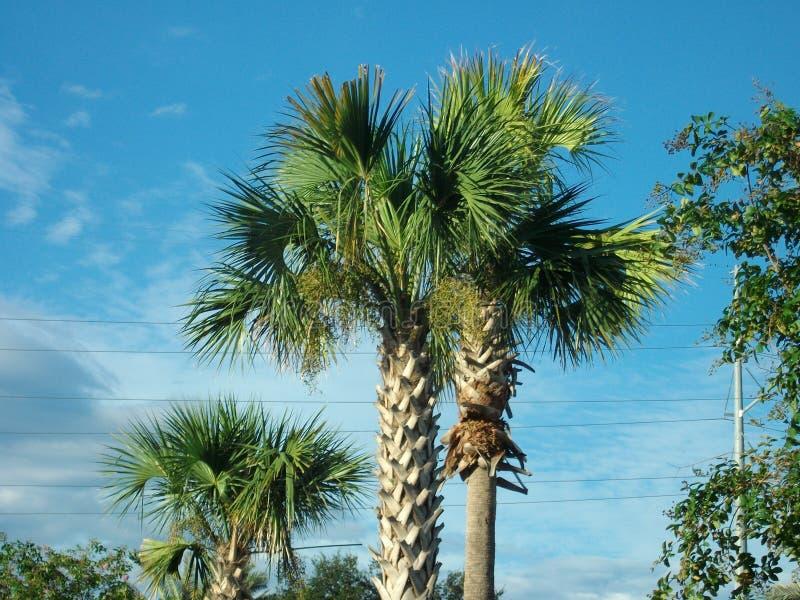 Palmträd som står högt i blåa himlar arkivfoton