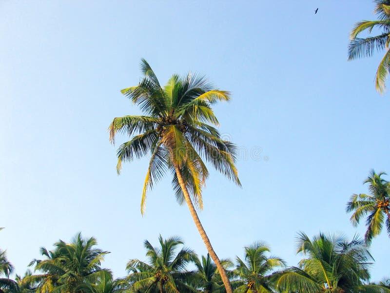 Palmträd som tänds av solen mot den blåa himlen royaltyfri foto