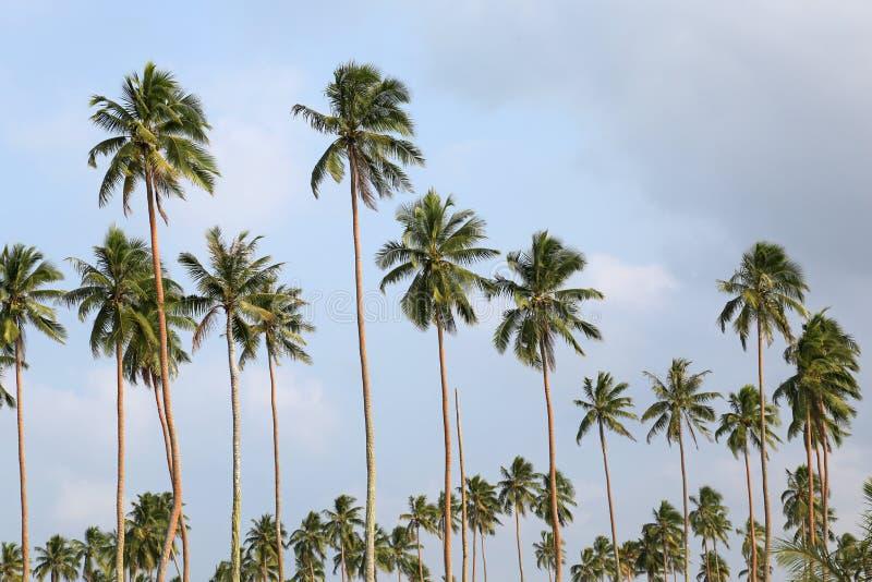 Palmträd Vanuatu arkivbild