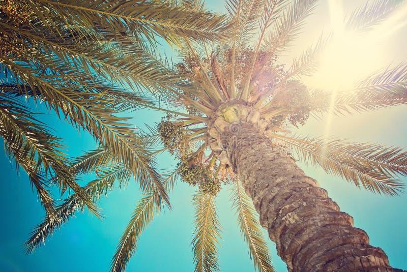 Palmträdblad mot solnedgång, Cypern Protaras, i strandfikonträd, solljus arkivbild
