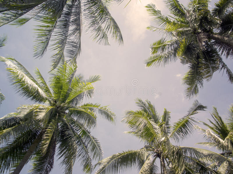 Palmträdet krönar med gröna sidor på solig himmelbakgrund Varma rosa färger tonat foto arkivbilder