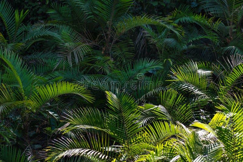 Palmträdet som är mycket gömma i handflatan arkivfoton