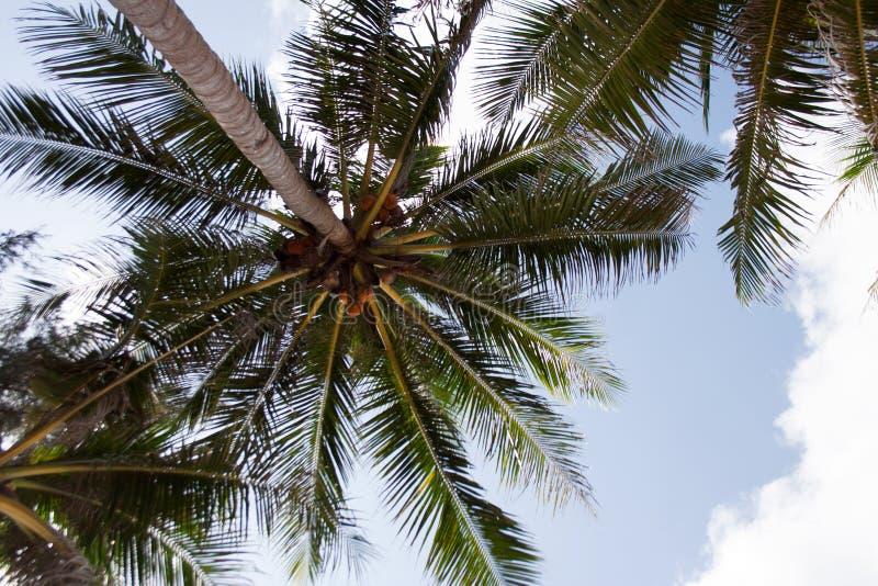 Palmträdfilialer med kokosnötter arkivbild