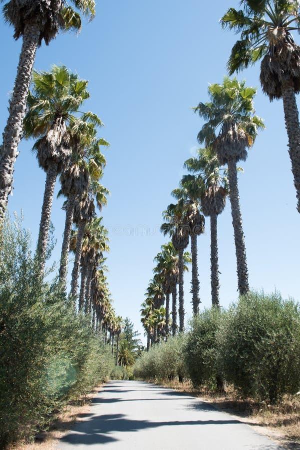 Palmträdlinje gångbana på ett Napa Valley, Kalifornien vinodling fotografering för bildbyråer