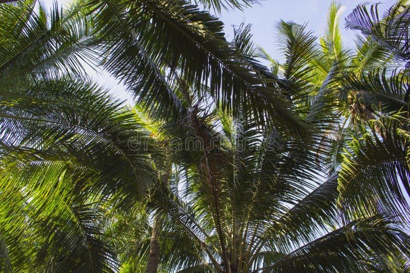 Palmträdsidor på solig bakgrund för blå himmel Tropisk trädkrona på blå himmel arkivbild