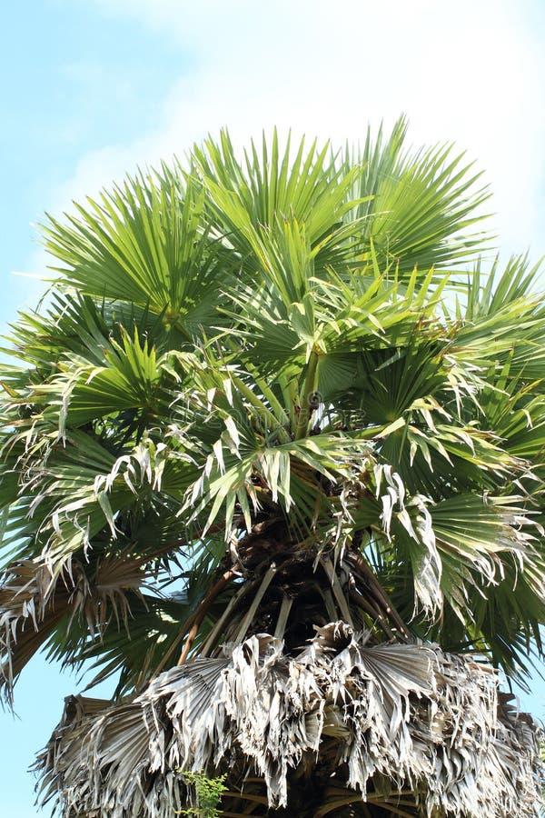Palmtree стоковое фото