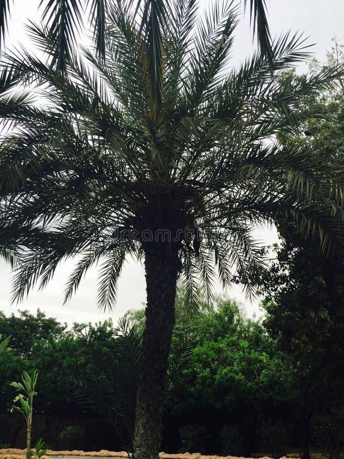 Palmtree royaltyfri foto
