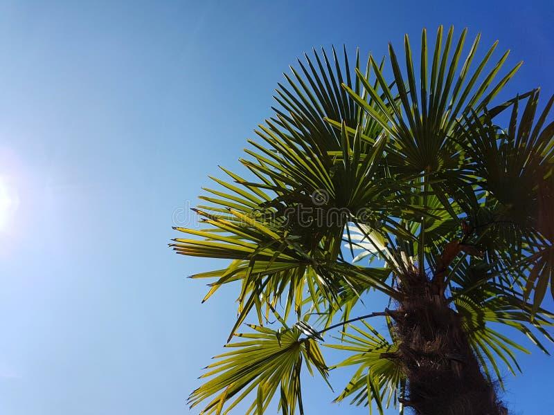 Palmtree lizenzfreies stockbild