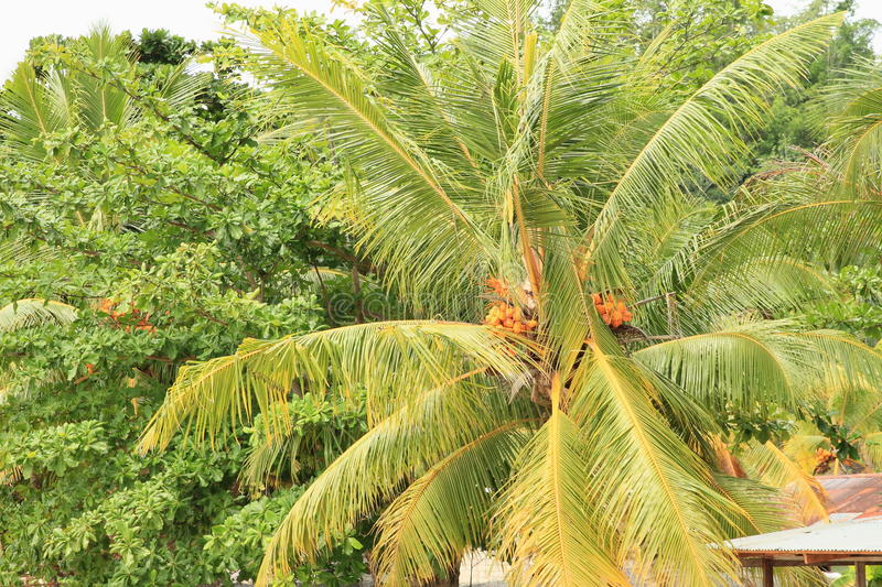 Palmtree with coconuts royalty free stock image