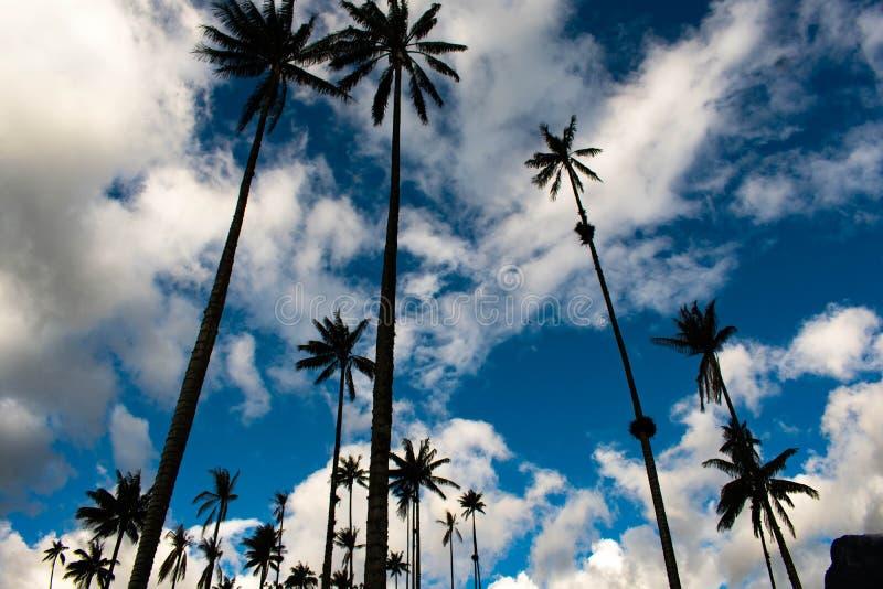 Palmtree fält i Salento Colombia arkivfoto