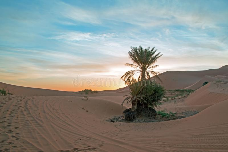 Palmtree in the middle of the Sahara desert in Morocco at sunrise royalty free stock photos