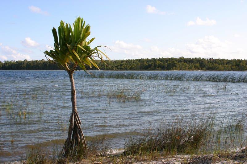Palmtree solitário imagem de stock royalty free