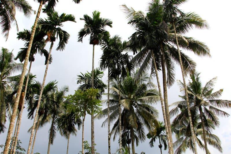 Palmtrees altos através do céu imagem de stock