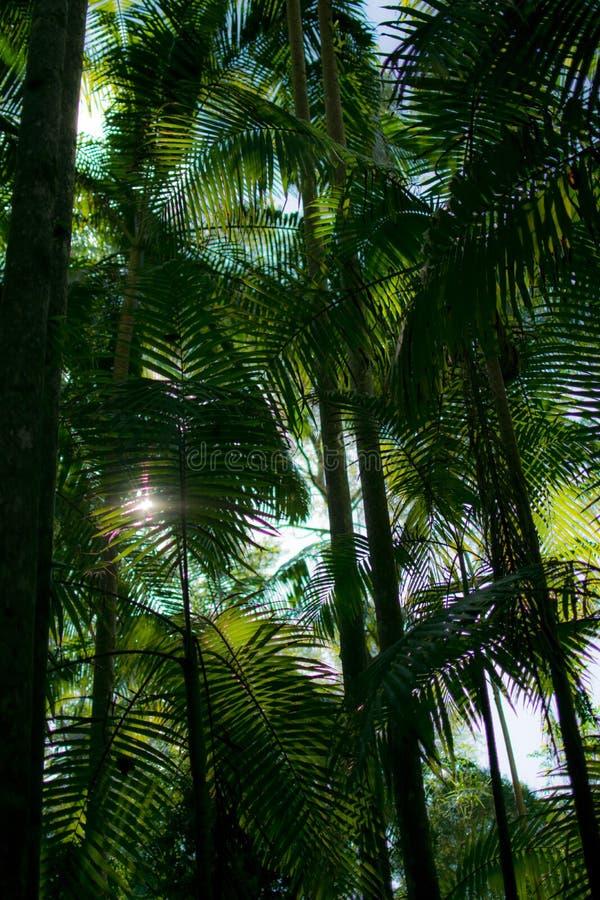 Palmtrees dans la forêt tropicale image libre de droits