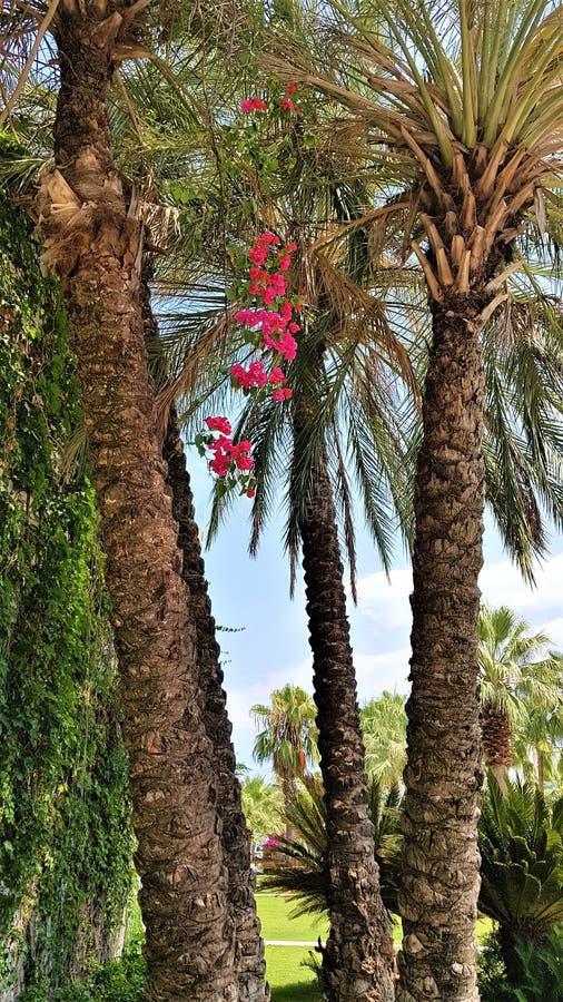 Palmtrees en bloeiende bougainvillea in Kemer-stadsstraat, Antalya, Turkije stock afbeelding