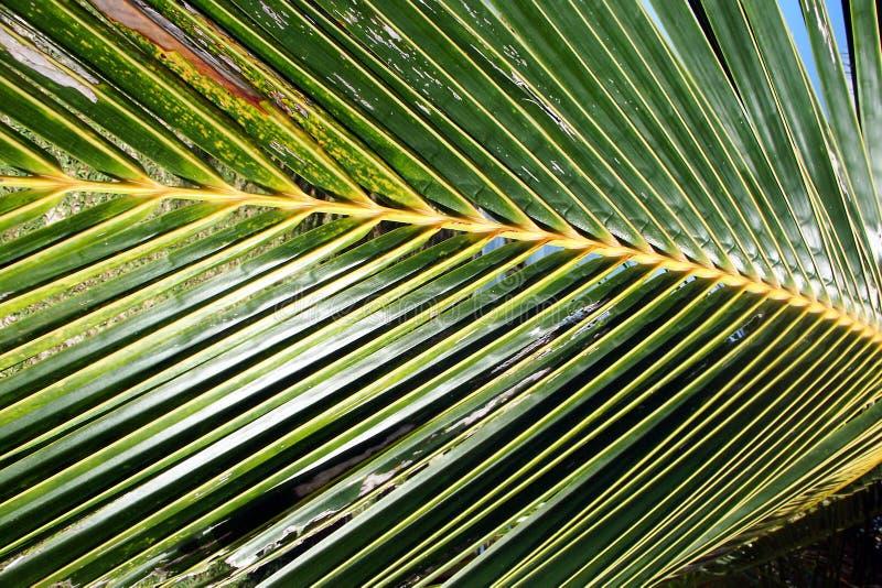 Palmwedel-Hintergrund stockbild