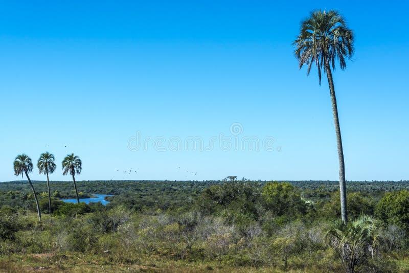 Palmy na El Dłoniowym parku narodowym, Argentyna zdjęcie stock