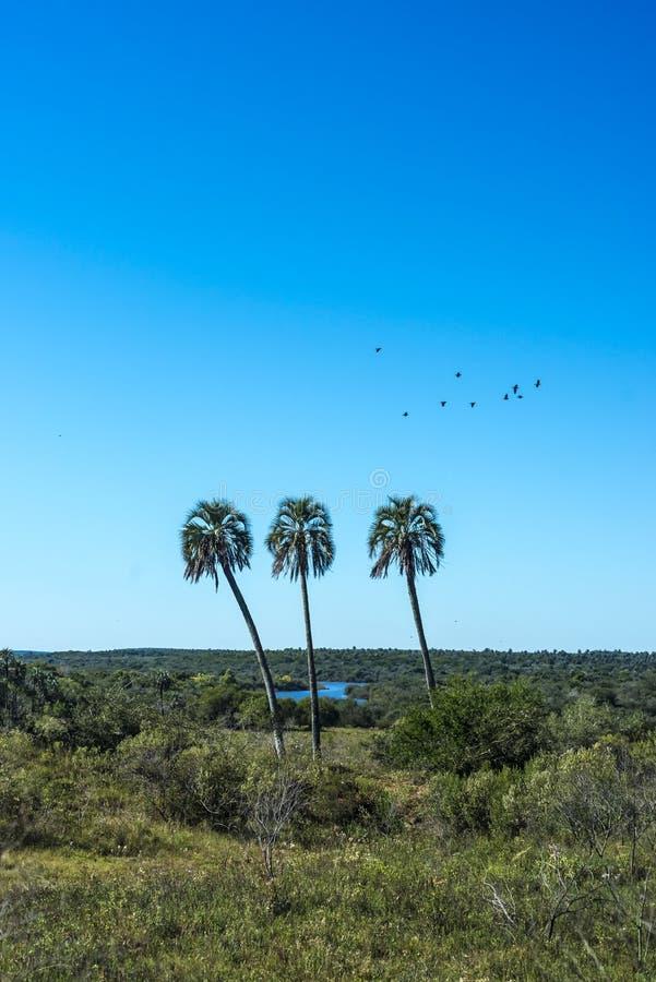 Palmy na El Dłoniowym parku narodowym, Argentyna fotografia stock