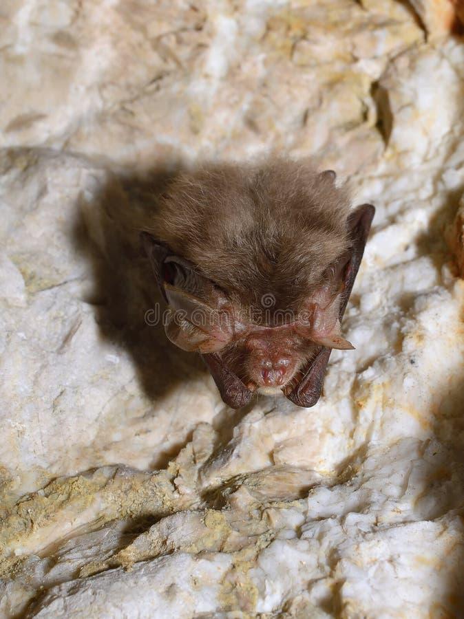 Palo del pipistrelo del este (subflavus del Pipistrellus) fotografía de archivo libre de regalías