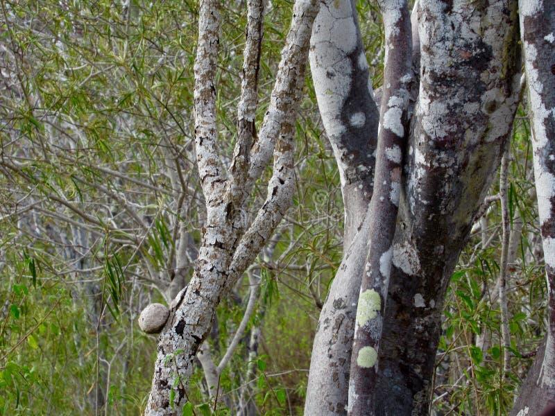Palo Santo Trees, palillo santo fotografía de archivo libre de regalías