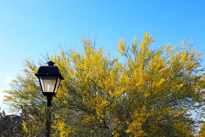Palo Verde, árbol hermoso del estado de Arizona foto de archivo