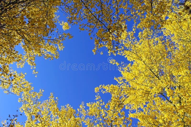 Palo Verde, albero dello stato dell'Arizona immagini stock