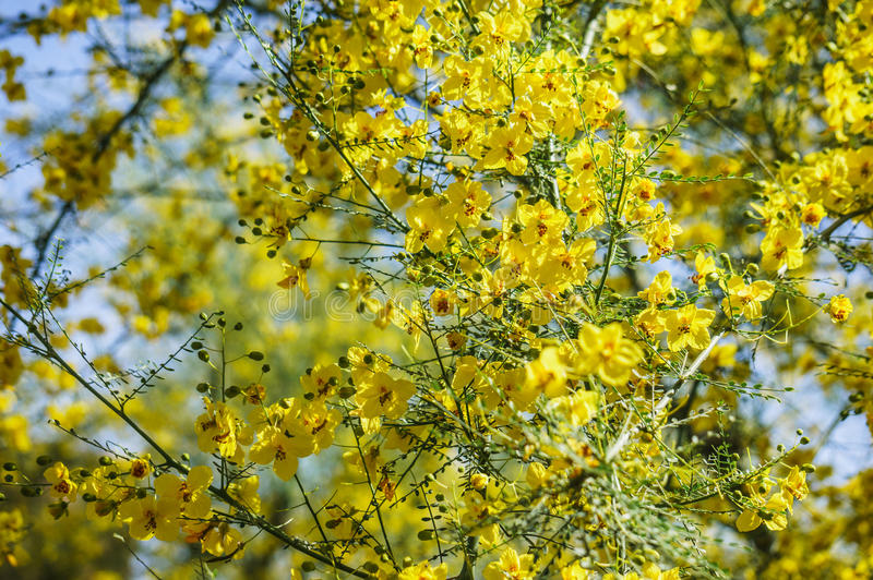 Palo Verde Blooms fotografia stock libera da diritti