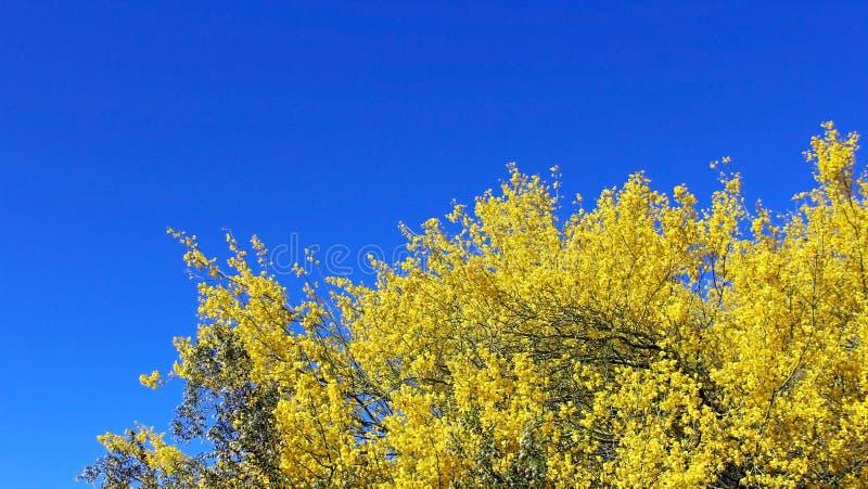Palo Verde di fioritura, albero dello stato dell'Arizona fotografia stock